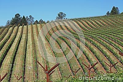 Attractive vineyard in California