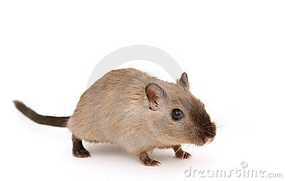 Attractive young male rodent