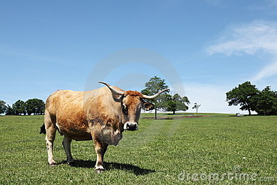 Aubrac Beef Cow Portrait Facing Camera