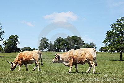 Aubrac Beef Cows Grazing In Pasture