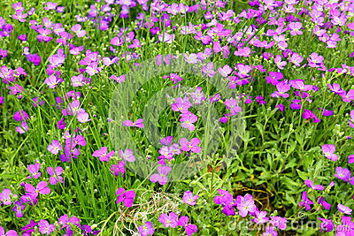 Aubrieta flowers