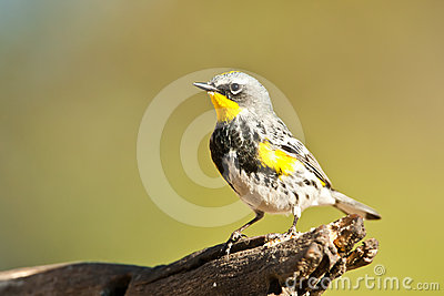 Audubon s Warbler
