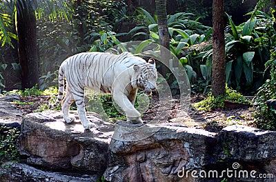 Auf dem Prowl - weißer Tiger