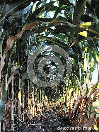 August Corn-1224