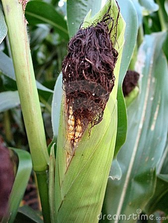 August Corn