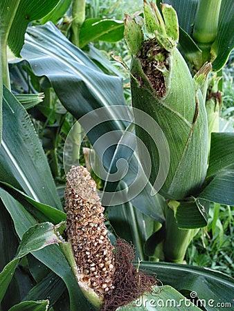 August Corn-4084