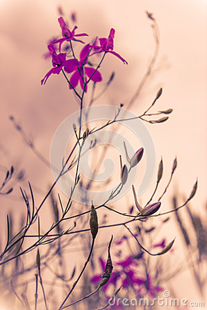 Free Aurora Dawn With Wild Flowers In Violet Misty Colour Royalty Free Stock Photo - 41547495