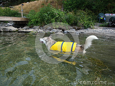 Ausky Dog Swimming With Life Vest