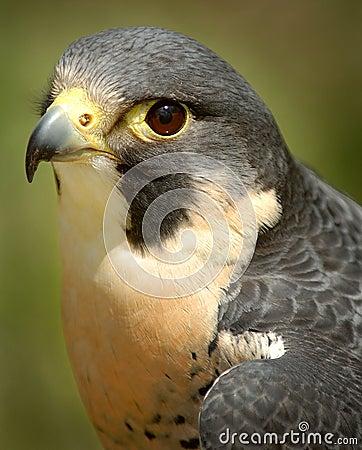 Ausländischer Falke