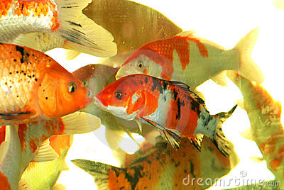 Auspicious koi fishes
