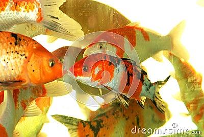 Auspicious koi fishes
