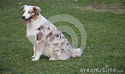 Aussie Dog