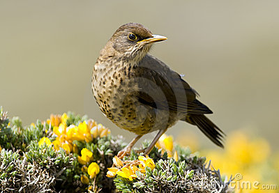 Austral Thrush - Falklands