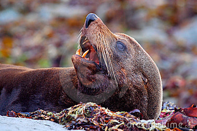 AUstralasian fur seal - head showing canines