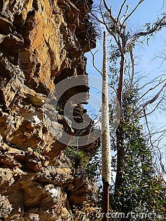 Australia: grass tree flower spike