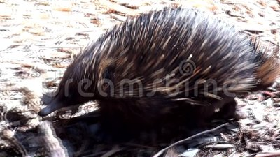 Australia, kangaroo island, excursion in the outback, close up view of a echidna walking. Quietly in the undergrowth, near us stock footage