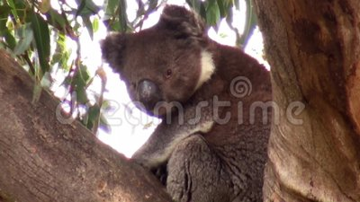Australia, kangaroo island, excursion in the outback, view of a koala sitting on the branches of a eucalyptus tree. Close-up view stock video