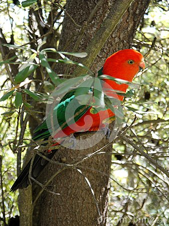 Australia: King parrot in banksia tree