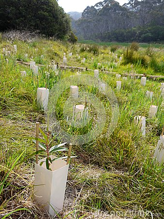 Australia: native bush regeneration tree planting