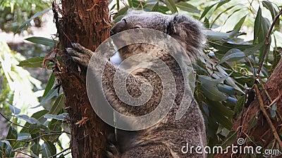 australia niedźwiedzia koali zdjęcie