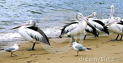 Australia Pelicans