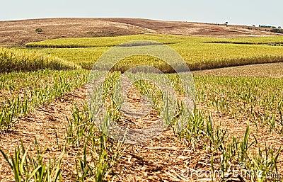 Australian agriculture industry sugarcane crop