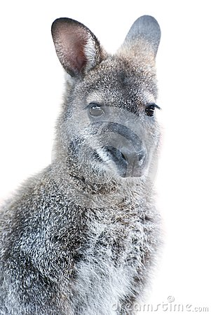 Australian Animal - young Kangaroo portrait