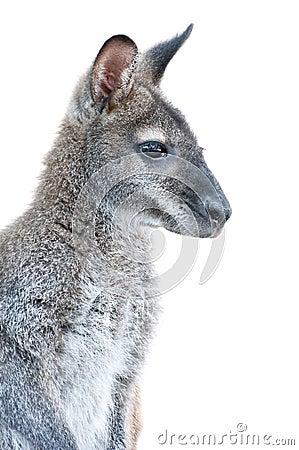 Australian Animal - young Kangaroo portrait