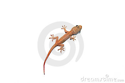 Australian Asian House Gecko