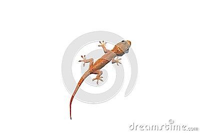 Australian Asian House Gecko