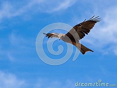 Australian Black Kite (Milvus migrans)