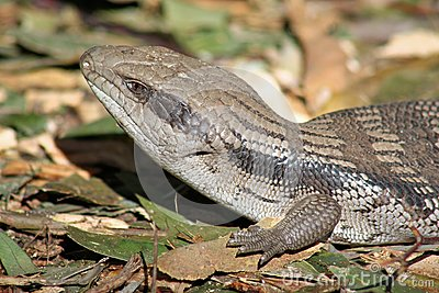 Australian Blue Tongue Lizard
