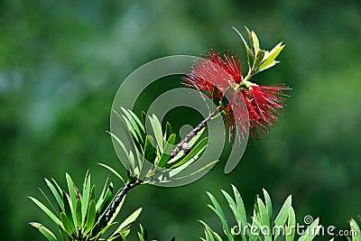 Australian bottlebrush