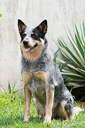 Free Australian Cattle Dog Stock Photo - 1438970