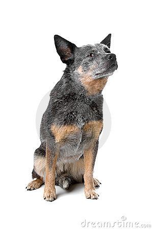 Free Australian Cattle Dog Royalty Free Stock Photography - 15741857