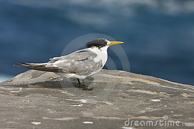 Australian Crested tern standing on a rock