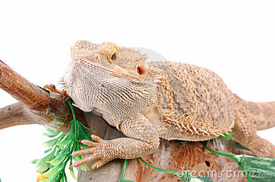 Australian dragon lizard