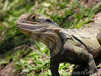 Australian Dragon lizard