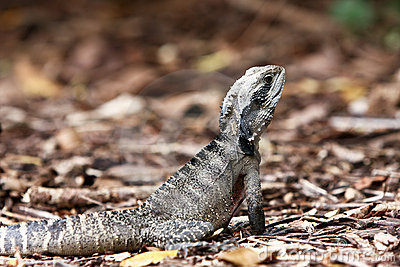 Australian Eastern Water Dragon on land.