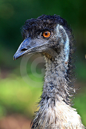 Free Australian Emu Royalty Free Stock Photos - 3783358