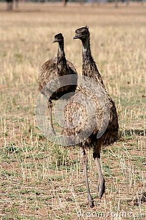Australian Emus