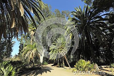 Australian Eucalypts and Date Palms