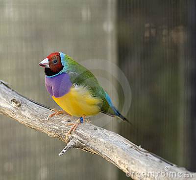 Australian finch Gouldian red headed male bird