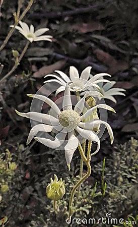 Free Australian Flanel Flowers Stock Photo - 71361840