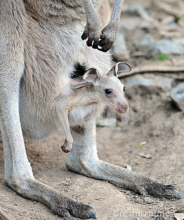 Free Australian Grey Kangaroo With Baby/joey In Pouch Royalty Free Stock Image - 25807856
