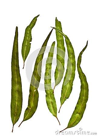 Australian Gum Leaves Eucalyptus citriodora