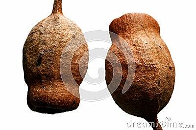 Australian Gum Nuts