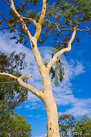 Free Australian Gum Tree Royalty Free Stock Photography - 1727787