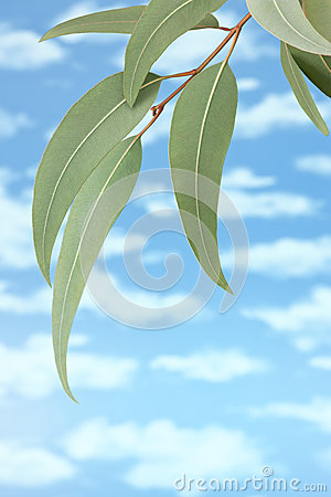 Australian Gum Tree Sky Background