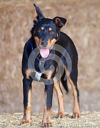 Australian Kelpie Pup